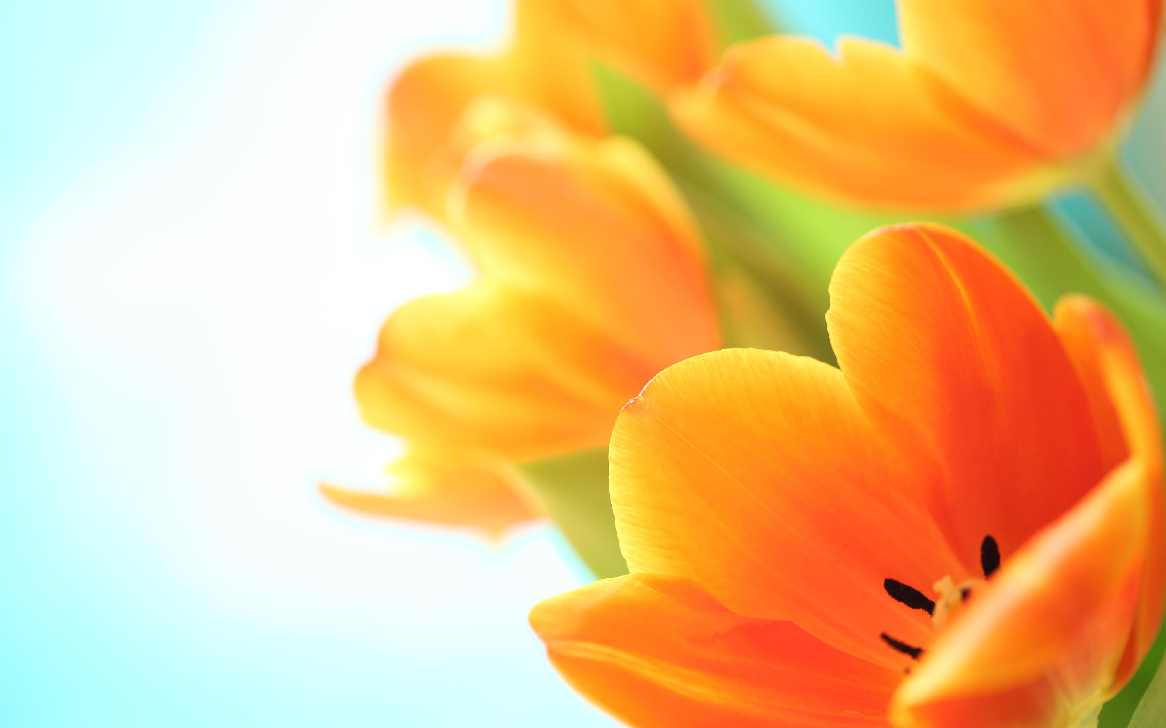 Картинка тюльпан оранжевые цветок Крупным планом 3840x2400 Тюльпаны оранжевых оранжевая Оранжевый Цветы вблизи