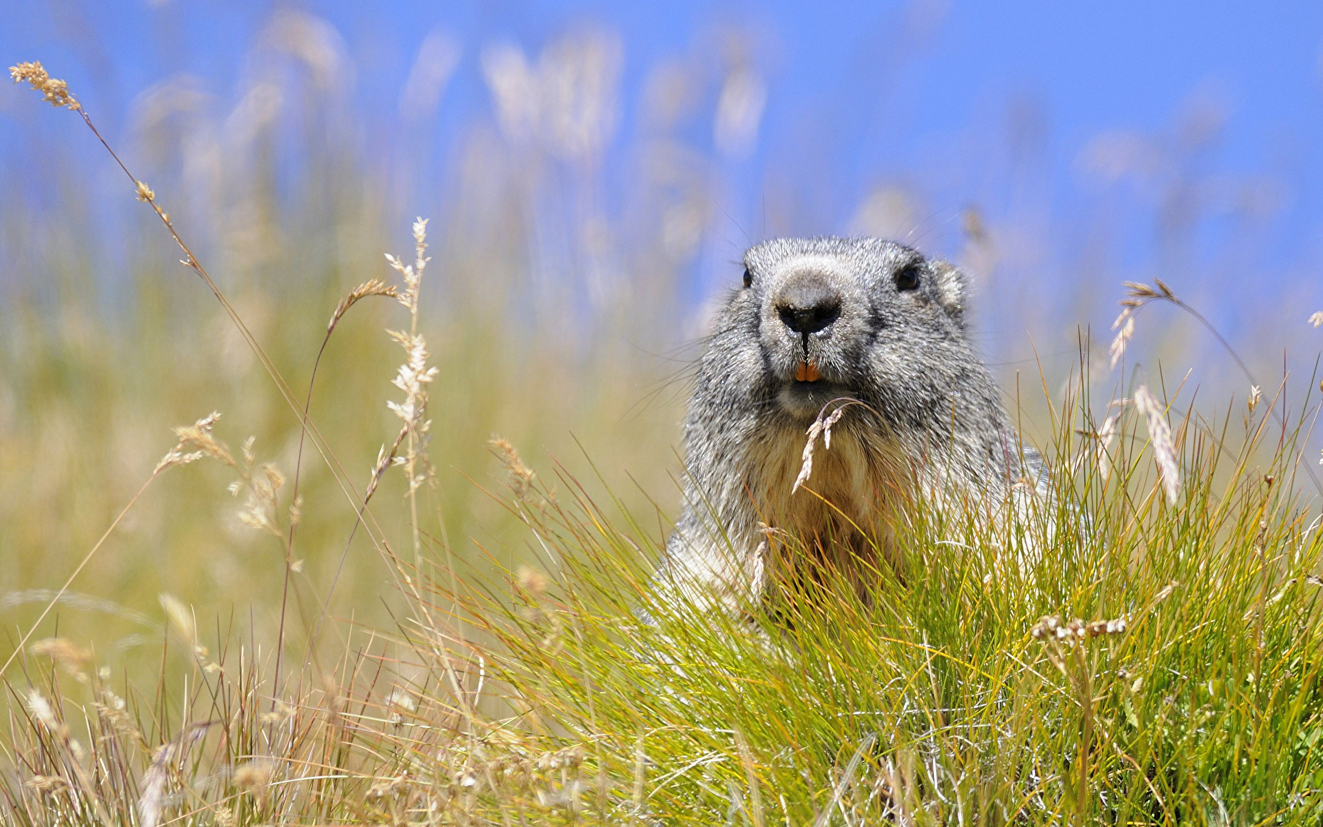 Alpine Marmot, Hohe Tauern National Park, Austria загрузить