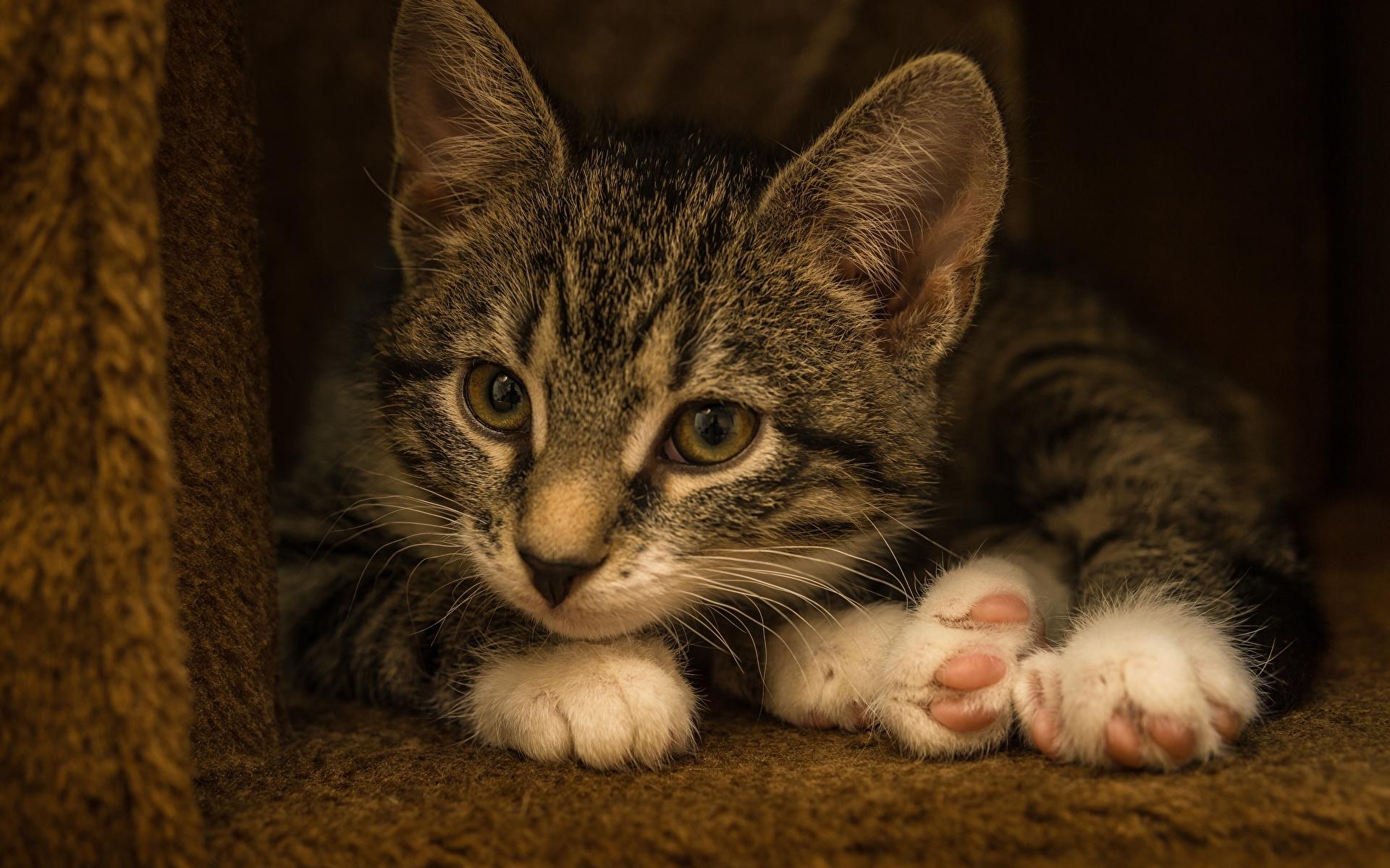 Обои для рабочего стола котенка кот лежа лап животное 1920x1200 котят Котята котенок коты Кошки кошка Лежит лежат лежачие Лапы Животные