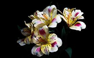 Фотография Альстрёмерия Вблизи Черный фон Цветы
