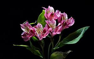 Фотография Альстрёмерия Вблизи На черном фоне Цветы
