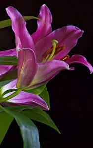 Фото Альстрёмерия Вблизи Черный фон Розовых цветок
