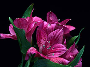 Картинка Альстрёмерия Вблизи Черный фон Фиолетовая цветок