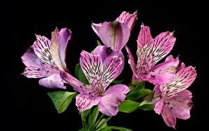 Фото Альстрёмерия Вблизи На черном фоне Фиолетовых Розовый Цветы