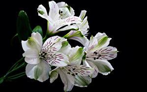 Фото Альстрёмерия Крупным планом На черном фоне Белый цветок