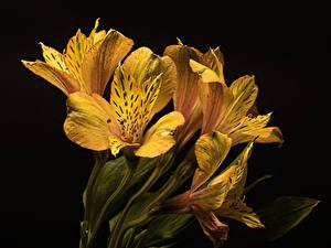 Фото Альстрёмерия Крупным планом На черном фоне Желтый Цветы