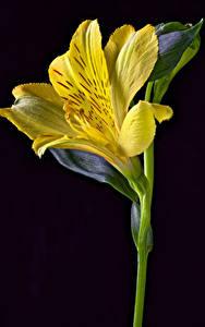 Фото Альстрёмерия Крупным планом На черном фоне Желтые Цветы