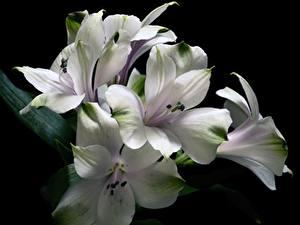 Картинка Альстрёмерия Белый Черный фон Цветы