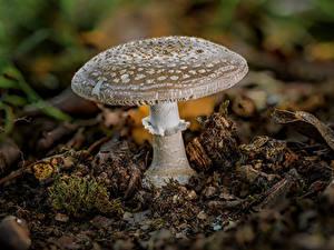 Картинка Мухомор Грибы природа Вблизи blusher Природа