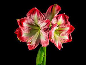 Обои Амариллис Вблизи На черном фоне цветок