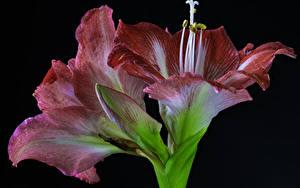 Картинки Амариллис Вблизи Черный фон Бутон Цветы