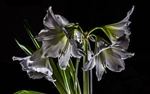Обои Амариллис Крупным планом Черный фон Белый цветок