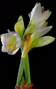 Фотография Амариллис Крупным планом Черный фон Белых цветок