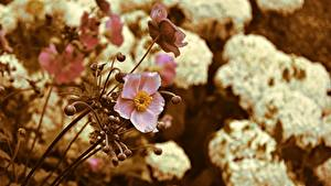 Фотография Анемоны Боке Розовый цветок