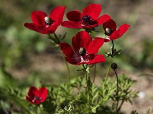 Фотографии Анемоны Боке Красная цветок