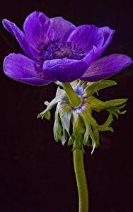 Фотография Анемоны Крупным планом На черном фоне Фиолетовый Anemone coronaria цветок
