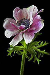 Картинки Анемоны Крупным планом Черный фон цветок