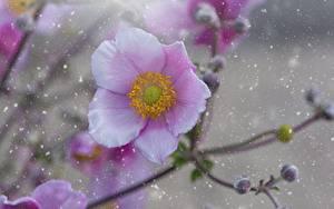 Фотографии Ветреница Вблизи Розовая Боке цветок