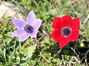 Картинка Ветреница Траве 2 Красная Фиолетовая цветок