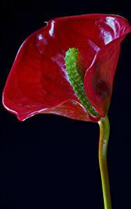 Обои Антуриум Вблизи На черном фоне Красный Цветы