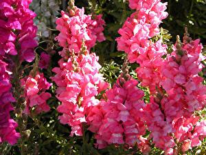 Обои Антирринум Крупным планом Розовая Цветы