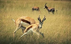 Фотография Парнокопытные Боке Траве С рогами Jeyran животное
