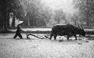 Фотография Азиаты Дождь Быки Мужчины Шляпа Рога Животные