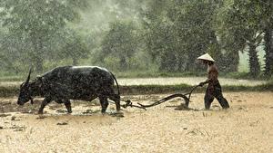 Фотография Азиаты Дождь Мужчины Быки Поля Шляпа Животные
