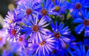 Обои Астры Много Крупным планом Синий Цветы