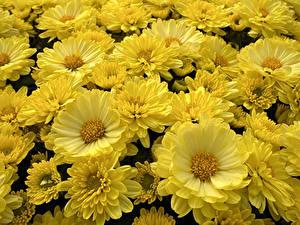Фотографии Астры Много Крупным планом Желтый цветок