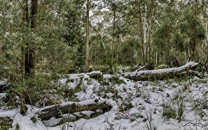 Фотография Австралия Парки Зима Деревья Снегу Ствол дерева Barrington Tops National Park Природа
