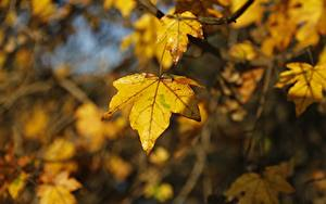Фотографии Осенние Крупным планом Боке Клёна Лист Природа