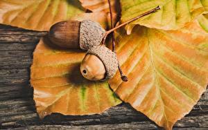 Фотография Осень Крупным планом Лист Жёлудь Природа