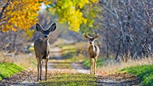 Картинка Осень Олени Два животное