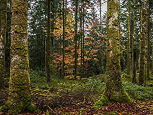 Обои Осенние Лес Дерево Мха Листва Ствол дерева