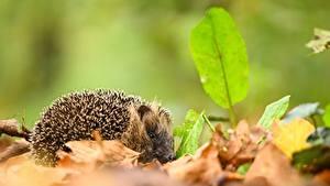 Фотография Осень Ежики Размытый фон Листья животное