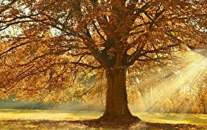 Фотографии Осень Лучи света Дерево Ветки Linden Природа