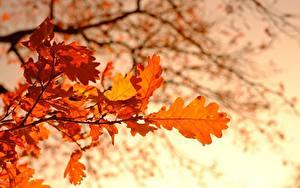 Фотография Осень Дуб Боке На ветке Листья Природа