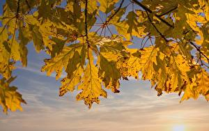 Фотография Осень Дуб На ветке Лист Природа