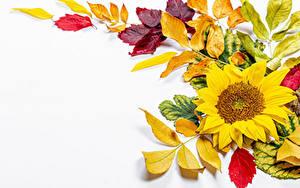 Обои Осенние Подсолнечник Белом фоне Листва Шаблон поздравительной открытки цветок