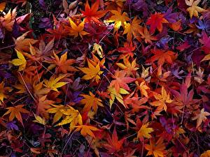 Обои Осенние Текстура Листья Клён Природа