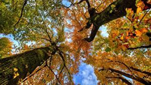 Обои Осень Ствол дерева Вид снизу На ветке