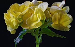 Фотография Бегония Вблизи На черном фоне Желтые Цветы