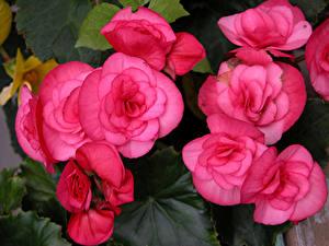 Обои Бегония Вблизи Розовая цветок