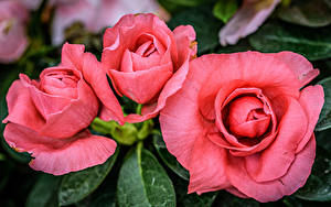 Картинка Бегония Вблизи Розовый Трое 3 Цветы