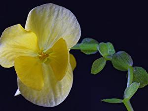 Картинка Бегония Вблизи Желтый Цветы