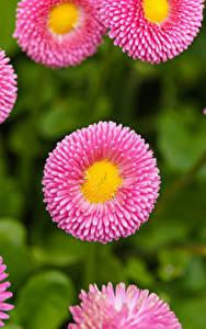 Картинка Маргаритка Крупным планом Розовых Цветы