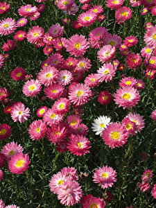Фотографии Маргаритка Много Розовая цветок