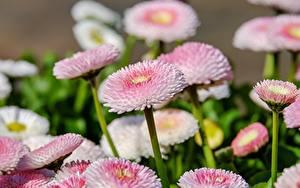 Фотографии Маргаритка Много Розовый Боке цветок