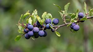Картинки Ягоды Крупным планом Ветка Prunus spinosa Пища
